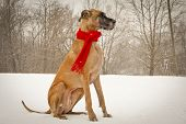 Great dane sitting in snow