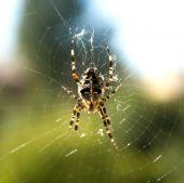 Garden Spider On Spiderweb