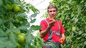 Vegetable Grower In Greenhouse