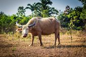 stock photo of female buffalo  - The female thai buffalo in a field