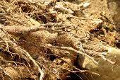 Dry plant roots