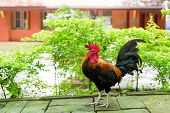 stock photo of bantams  - Female adult Bantam - JPG