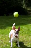 Jack Russell Terrier Watching Her Tennis Ball Fly Through The Air