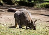 pic of wallaby  - Red - JPG