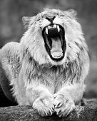 picture of growl  - A Frontal Portrait of a Growling Lion