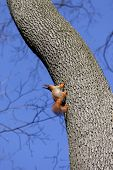 Red Squirrels On Tree In Forest