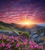 Fabulous sunrise in the mountains. Beautiful summer landscape with flowers of rhododendron. Meadow with red flowers