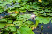 Purple Lotus Flower On Green Leaf In Water