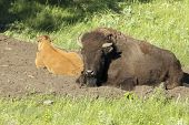 Bison And Calf Lay Down.