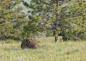 Bison By The Tree.