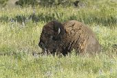 Bison Lays In Grass.