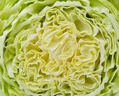 Slice Of Fresh Chinese Cabbage. Isolated On A White Background