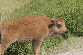 Bison Calf.