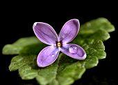 Close Up Lilac