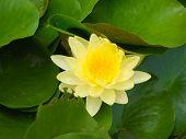 Yellow Of Lotus Flower