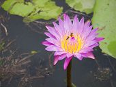 Closed Up Pink Of Lotus Flower
