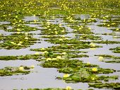 Water Lily On Water Surface