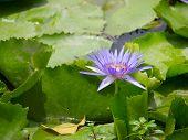 Purple Of Lotus Flower