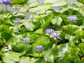 Lotus Flower On Water Surface