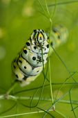 Macro image of a Black Swallowtail caterpillar feeding on dill