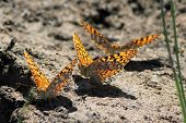 Three Fritillaries Mud-puddling