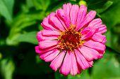 Close Up Of Pink  Zinnia Flower