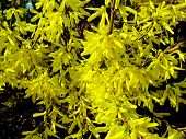 Yellow Flowers Of Forsythia Bush