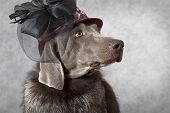 Portrait Of Victorian Style Weimaraner Dog