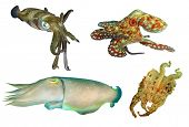 Squid, Octopus and Cuttlefish isolated on white background