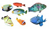 picture of bigeye  - Collection of Tropical Reef Fish isolated on white background - JPG
