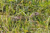 image of monitor lizard  - Closeup of camouflaged Monitor Lizard in Chobe National Park - JPG