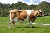 picture of lactating  - High production pedigree Jersey cow showing off udder attachment West Coast New Zealand - JPG