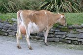 pic of lactating  - High production pedigree Jersey cow showing off udder attachment West Coast New Zealand - JPG