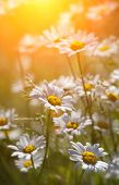 Wild daisies in morninglight