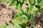 Two Striped Colorado Beetles On Potato Plant Leaf