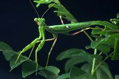 Spotted Praying Mantis
