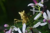 Flower Praying Mantis