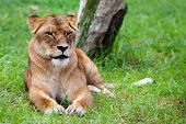 Lone African Lion