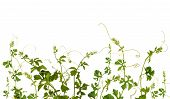 foto of climber plant  - A climber plant for document back ground - JPG