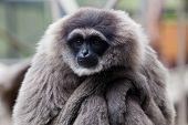 A Silvery Gibbon