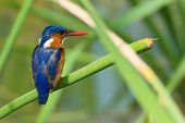 stock photo of malachite  - A Malachite Kingfisher  - JPG
