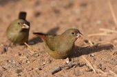 Female Red-billed Firefinch (lagonosticta Senegala) With A Grain Of Rice