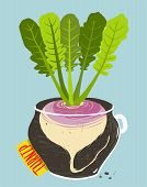 image of rutabaga  - Root vegetable container gardening illustration - JPG