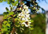 Acacia blooming