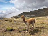 pic of lamas  - Andes scenery with lama around Huancayo in Peru  - JPG