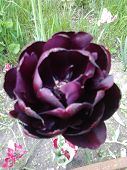 black tulip flower