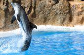 Dolphin dancing in water in Loro Park, Tenerife
