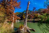 Interesting Tree Trunk and Brilliant Fall Foliage on the Guadalupe River in Texas