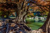 image of guadalupe  - Intricate Intertwined Cypress Tree Roots with Beautiful Fall Foliage on the Banks of the Guadalupe River at Guadalupe State Park - JPG