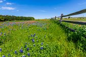 stock photo of texas star  - A Wide Angle View of a Beautiful Field Blanketed with the Famous Texas Bluebonnet  - JPG